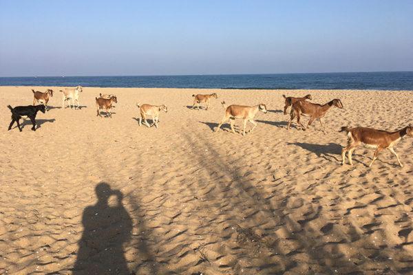 chèvres et plage